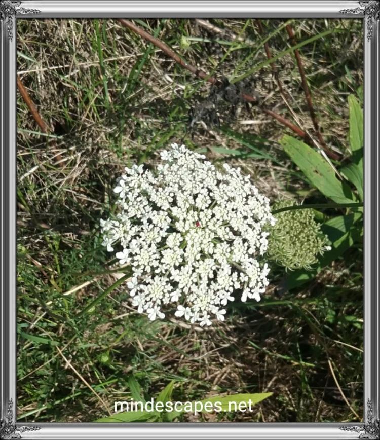 Roundedsnowflower