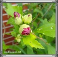 Rose of sharon buds with bright green leaves