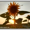 Sun setting behind a tall sunflower, nearly dusk