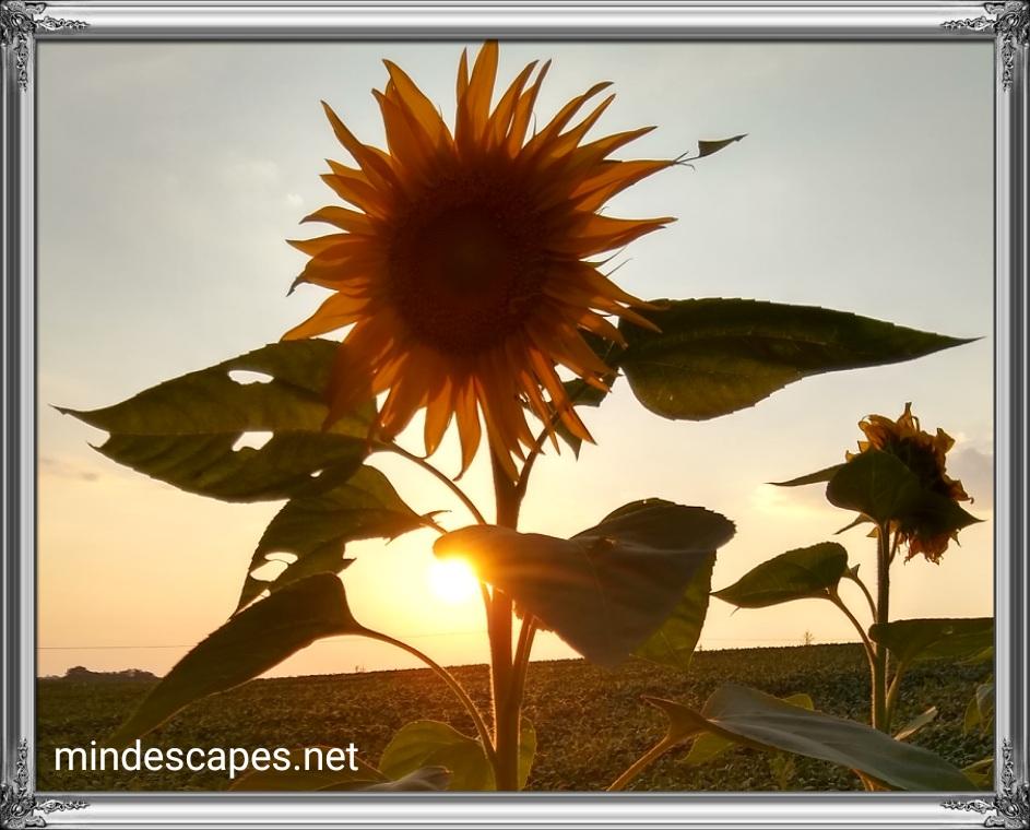 Sun setting behind a tall sunflower, nearly dusk