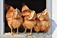 chicken-3607863_6401878204615666226891.jpg