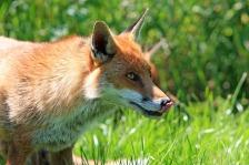 fox-275961_640.jpg