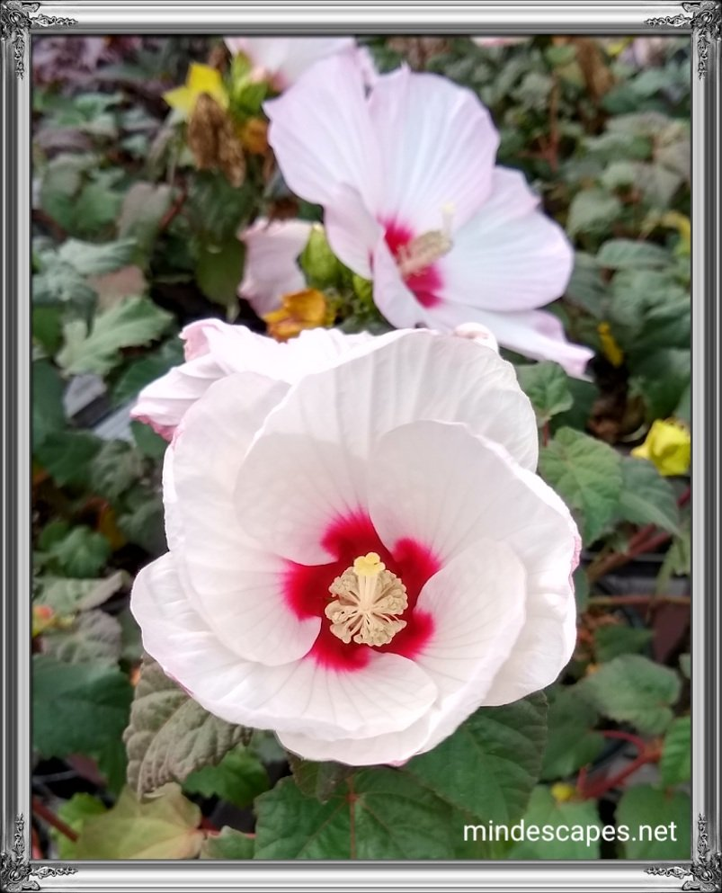Pretty white blossoms with pink and red bases