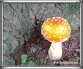 Orange dome shaped toadstool near a pine tree trunk