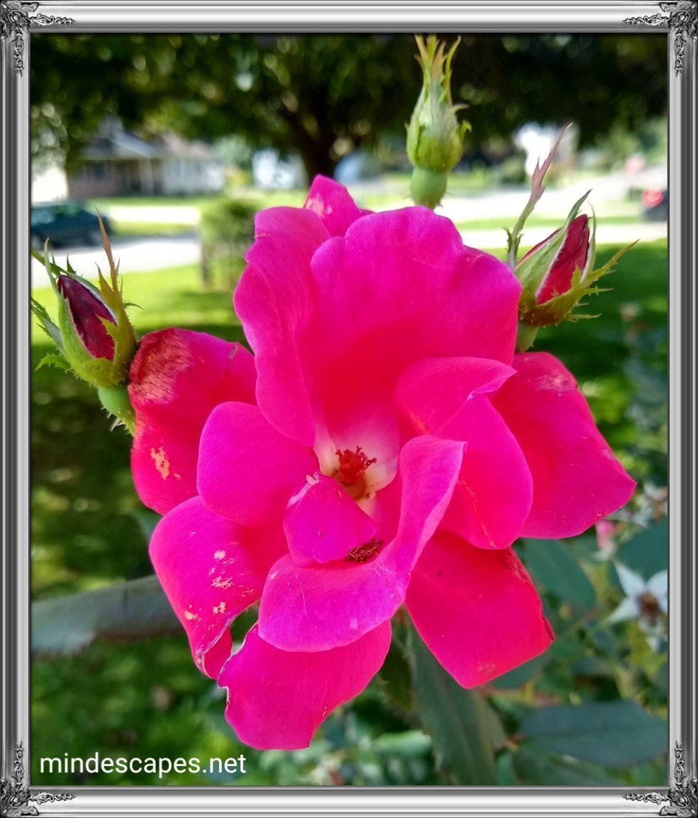 Open bright pink rose bloom