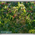 Spiderweb glowing in sunset rays in a tree with red berries