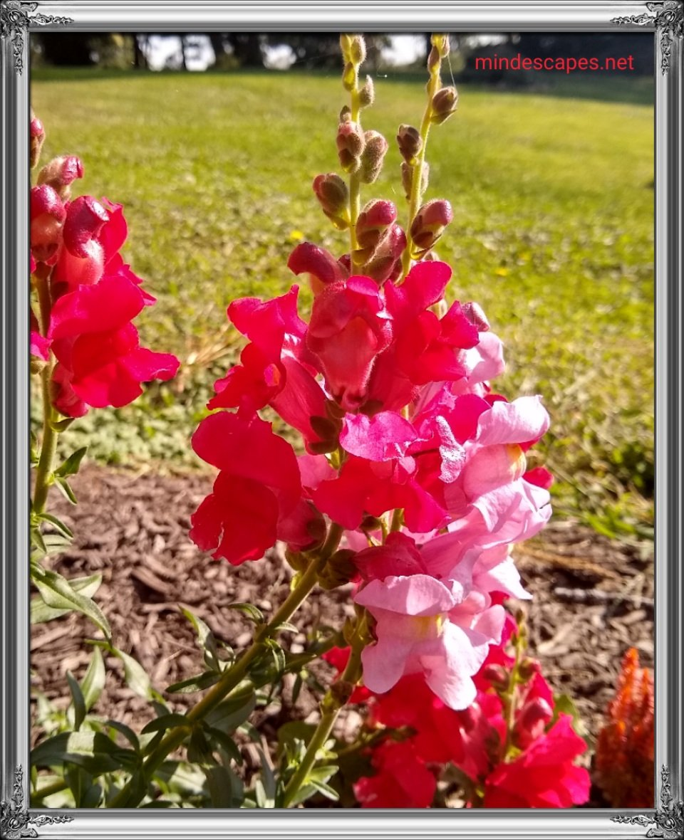 Bright red and pink snap dragons