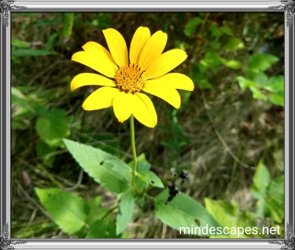 A bright yellow flower, similar to a daisy